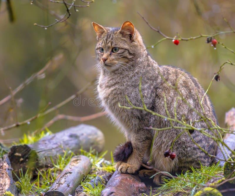 Wilde kat die interessant kijken royalty-vrije stock afbeeldingen
