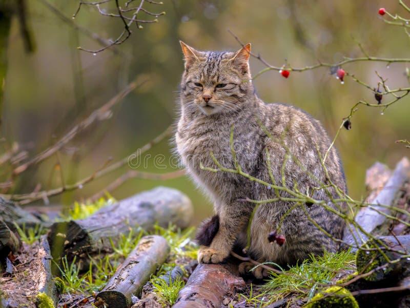 Wilde kat die ontspannen kijken stock afbeeldingen