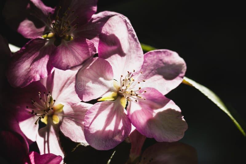 Wilde kers, kers, pruim, appelclose-up, doorzichtige bloemblaadjes, concept de lente royalty-vrije stock foto