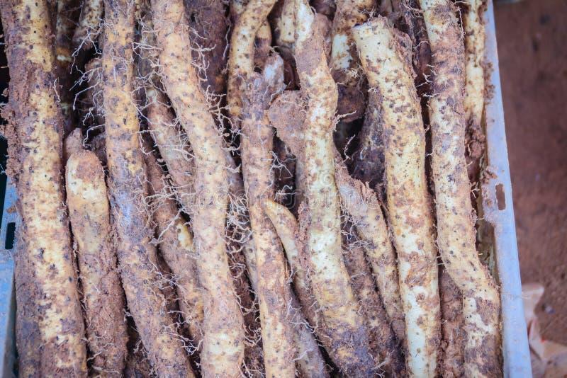 Wilde Kerzenkartoffel (filiformis der Yamswurzel) im Thailand-Einheimischmarkt Knollen verlängerten, bis 50 cm lang, 2 cm im Durc lizenzfreie stockbilder