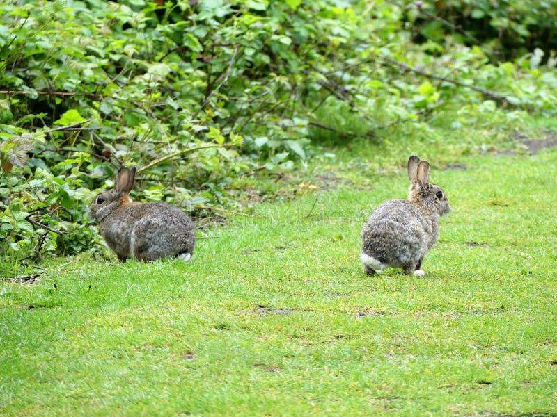 Wilde konijnen op Gemeenschappelijke Chorleywood stock afbeelding