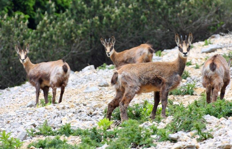 Wilde kudde van gemzen in de wildernis terwijl amid de rotsen weid royalty-vrije stock afbeeldingen