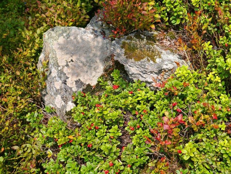 Wilde kurze Lingonberrysträuche und -steine stockbild