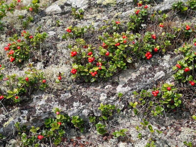 Wilde kurze Lingonberrysträuche und -steine lizenzfreie stockfotos