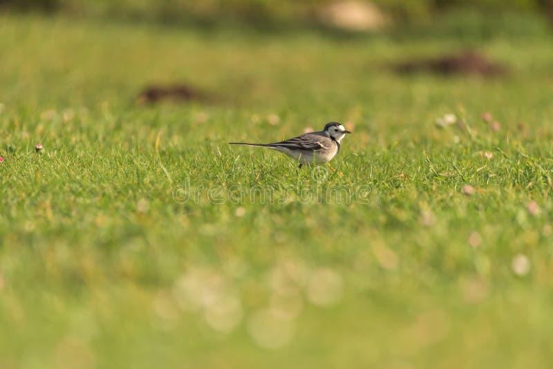 Wilde kwikstaartvogel stock foto's