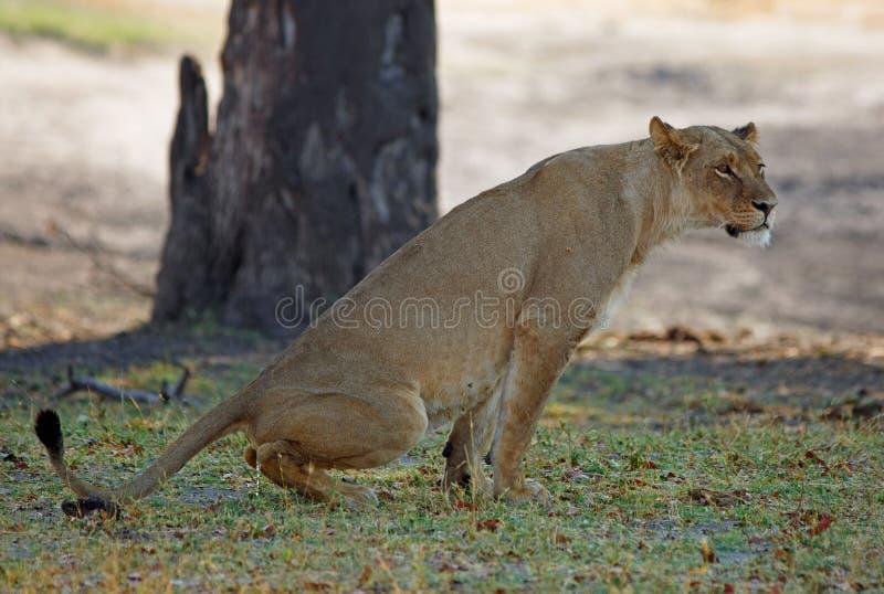 Wilde Löwin, die sie teritory durch das Urinieren auf den afrikanischen Ebenen markiert stockfotografie