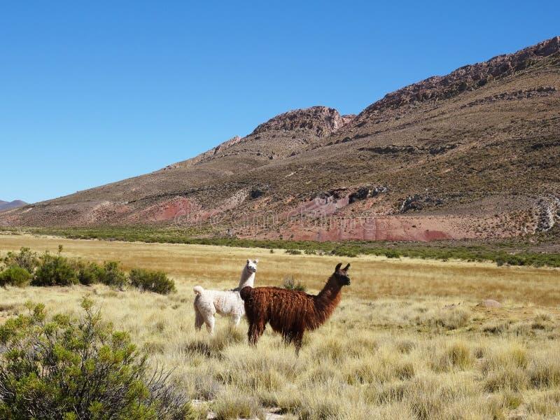Wilde Lamas, die in der schönen Landschaft von Nord-Argentinien weiden lassen lizenzfreie stockfotografie