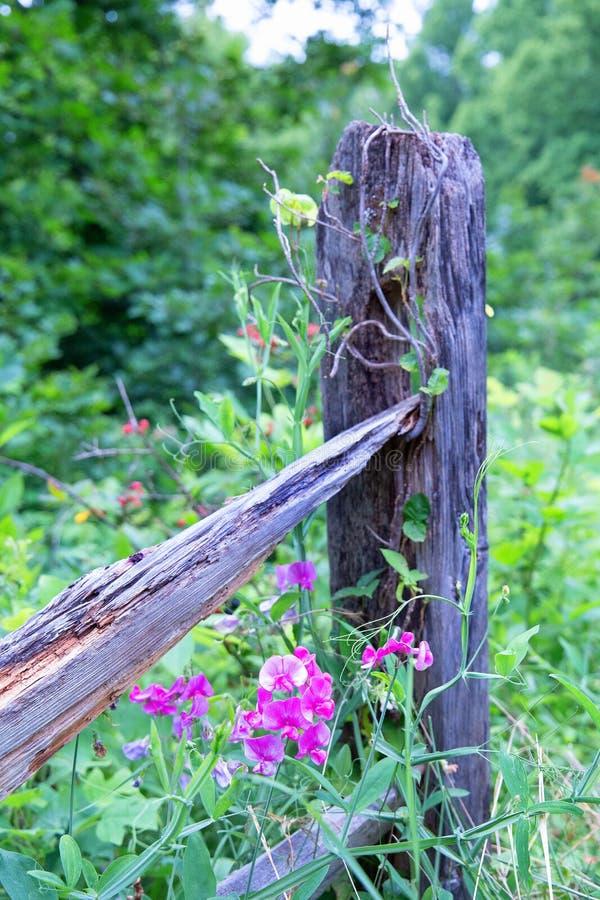 Wilde Leeuwebekken op een fencepost stock fotografie