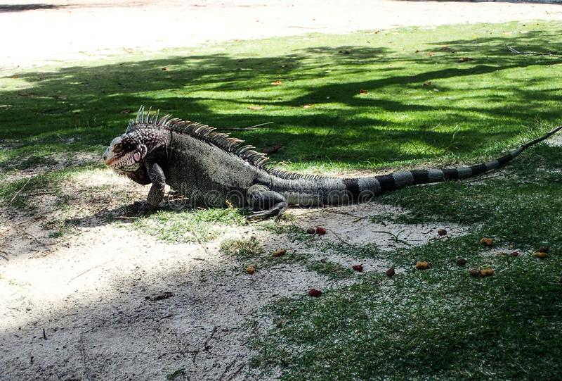Wilde Leguaan op het Caraïbische eiland stock foto