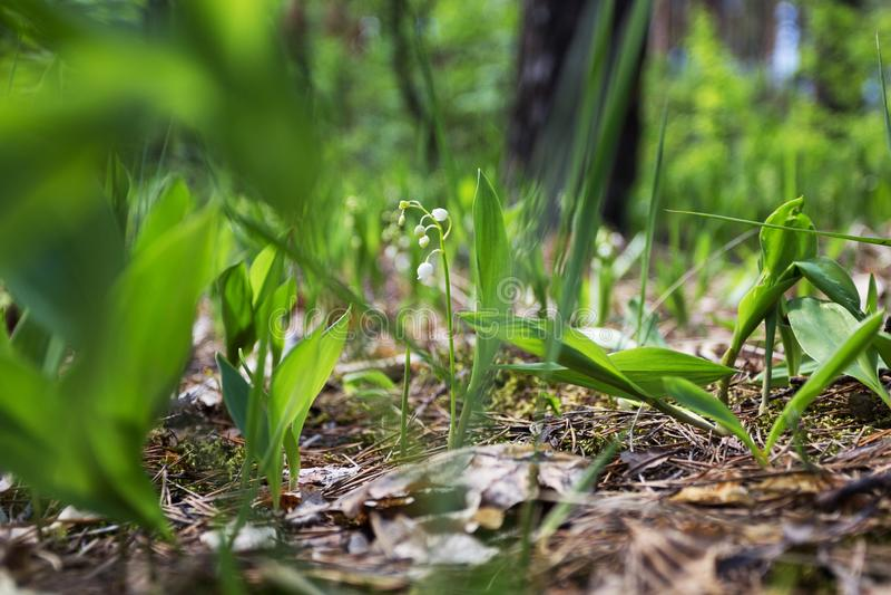 Wilde lelies in het bos stock fotografie