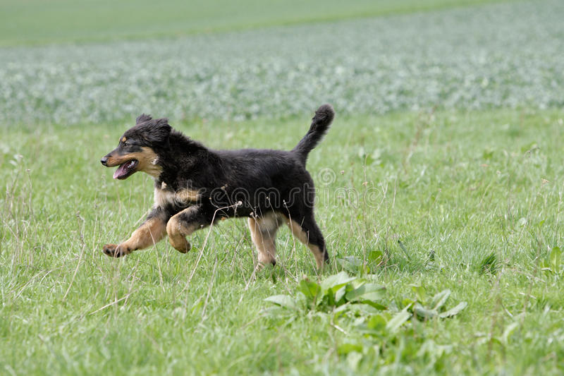 Wilde lopende hovawart hond stock fotografie