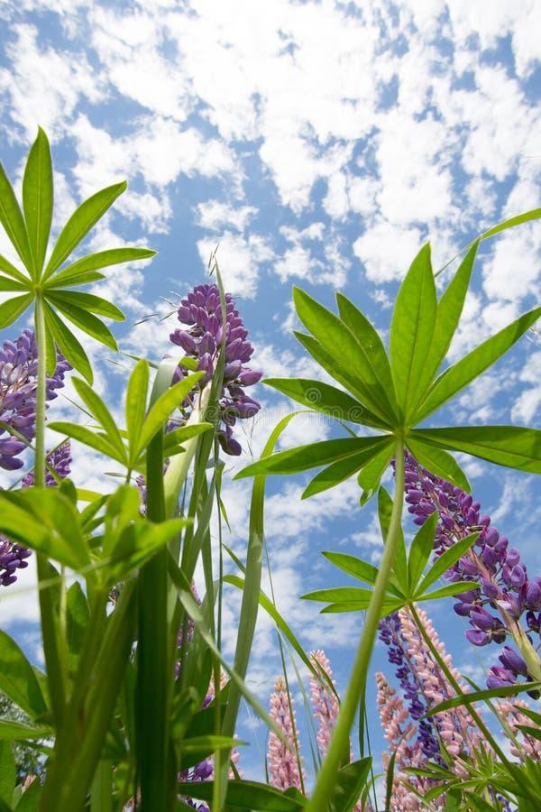 Wilde lupinebloemen van onderaan royalty-vrije stock afbeeldingen