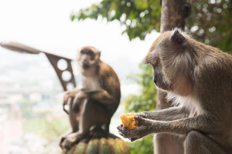 Wilde macaques die over stad het eten zitten royalty-vrije stock fotografie