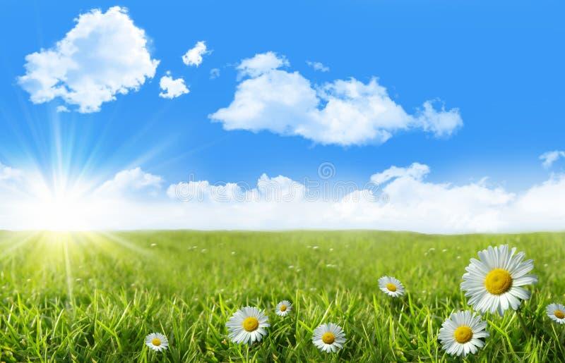 Wilde madeliefjes in het gras met een blauwe hemel royalty-vrije stock foto's
