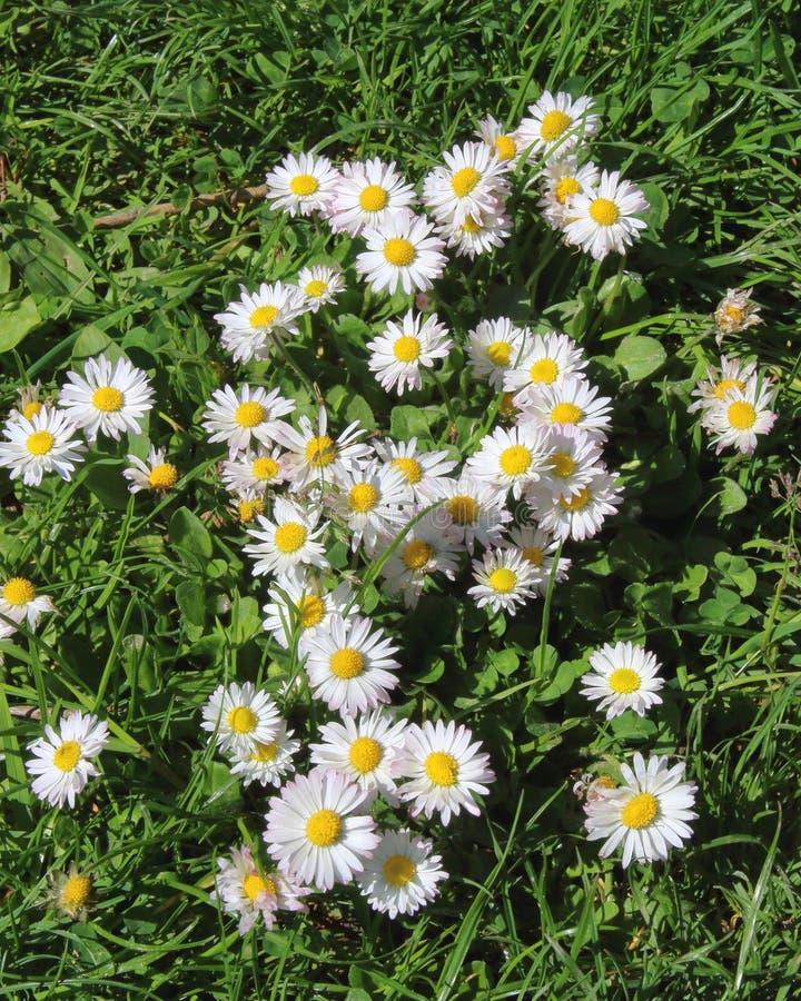 Wilde madeliefjes op een de lenteweide stock afbeelding