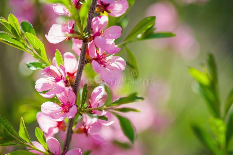 Wilde Mandelbaum-Rosablüte lizenzfreie stockfotos