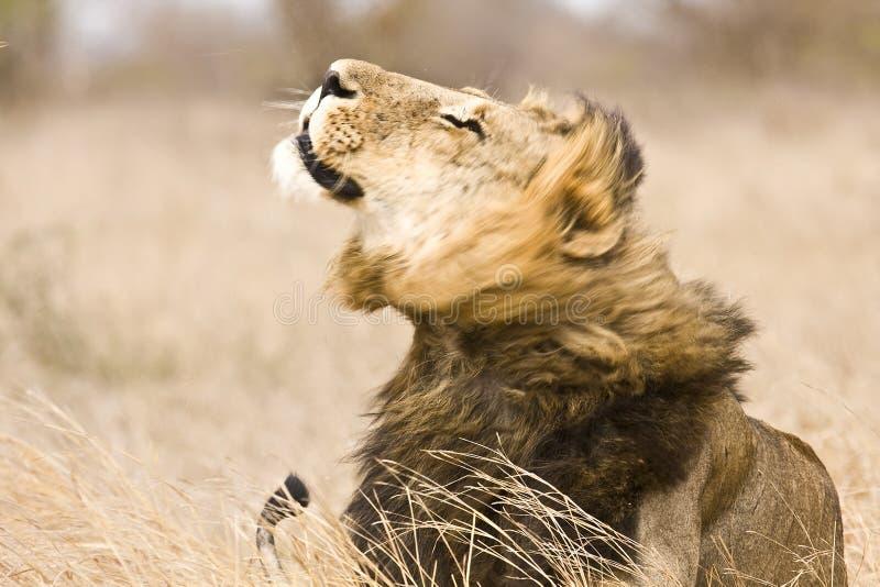 Wilde mannelijke leeuw die, het Nationale park van Kruger, Zuid-Afrika schudden royalty-vrije stock afbeeldingen