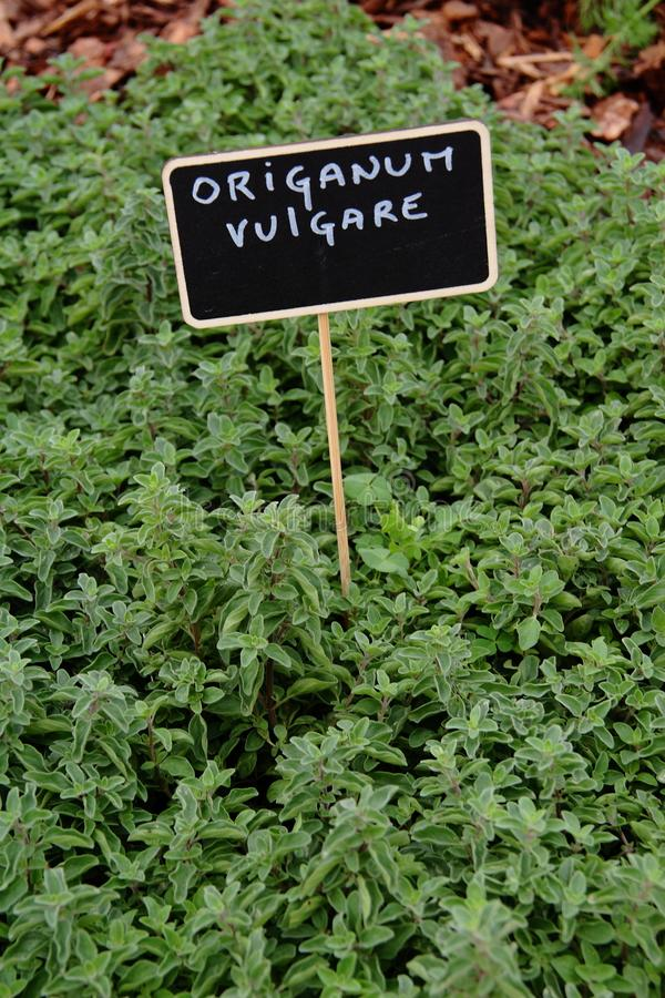 Wilde marjolein vulgare stock afbeeldingen