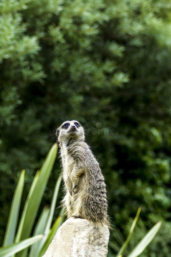 Wilde meerkat royalty-vrije stock foto