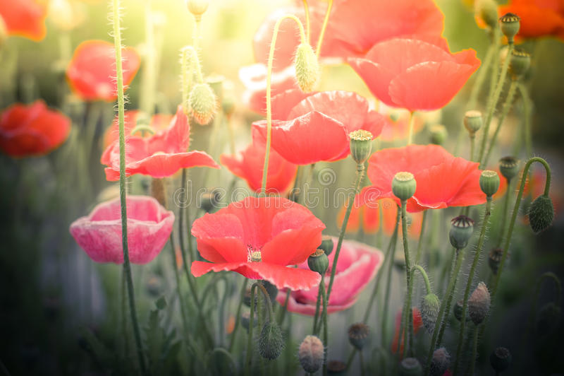 Wilde Mohnblumenblumen auf Sommerwiese Art der russischen Volksmalerei lizenzfreies stockbild