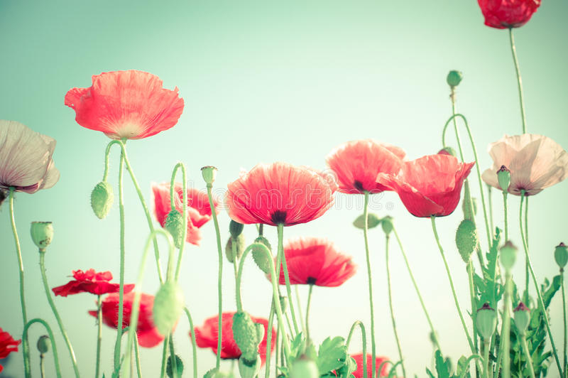 Wilde Mohnblumenblumen auf Sommerwiese Ausführliche vektorzeichnung lizenzfreies stockbild