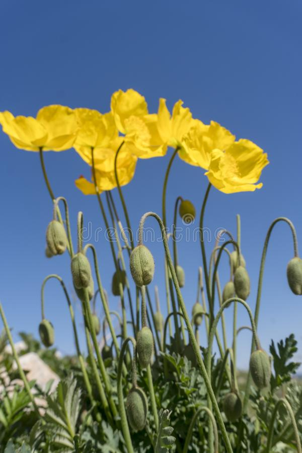 Wilde Mohnblumenblumen, die im Freien blühen stockbild