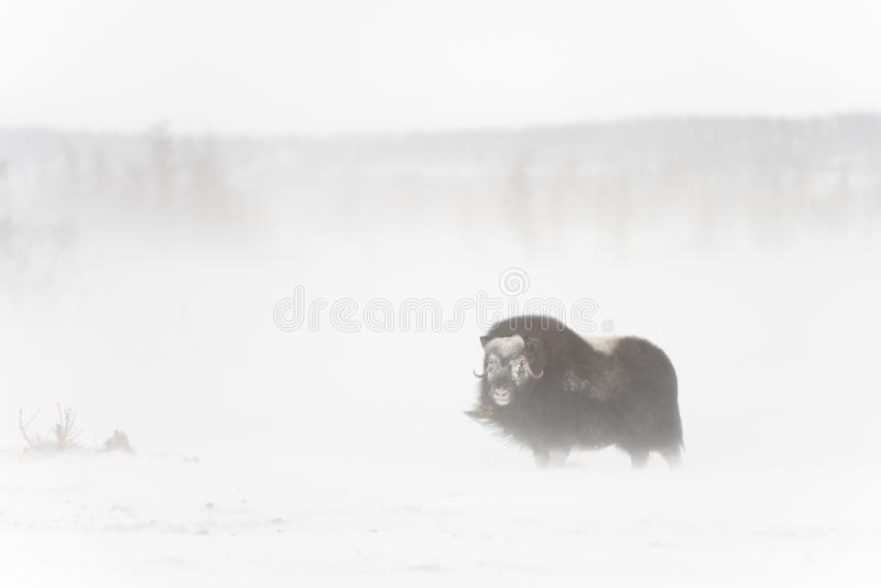 Wilde muskox in de sneeuwstorm royalty-vrije stock foto