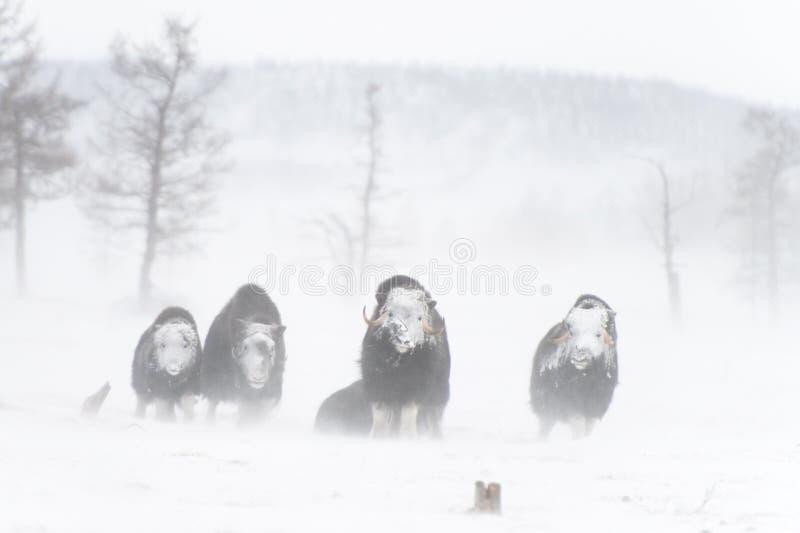 Wilde muskox in de sneeuwstorm royalty-vrije stock afbeeldingen