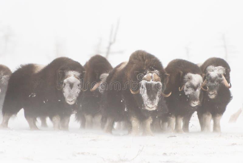 Wilde muskox in de sneeuwstorm stock afbeelding