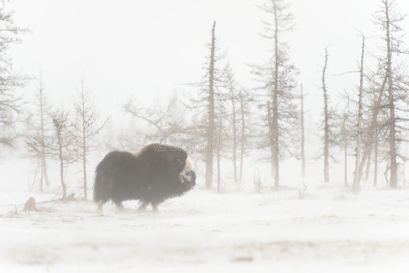 Wilde muskox in de sneeuwstorm royalty-vrije stock foto's