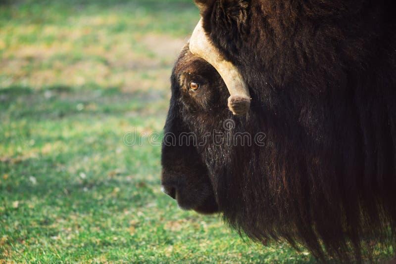 Wilde muskusos in de aard Het wild van grote dieren jakken stock foto