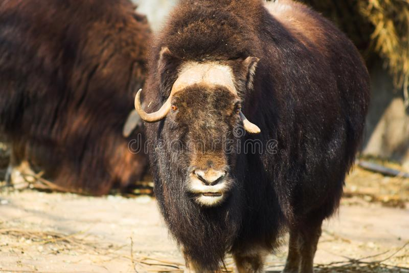 Wilde muskusos in de aard Het wild van grote dieren jakken royalty-vrije stock foto's