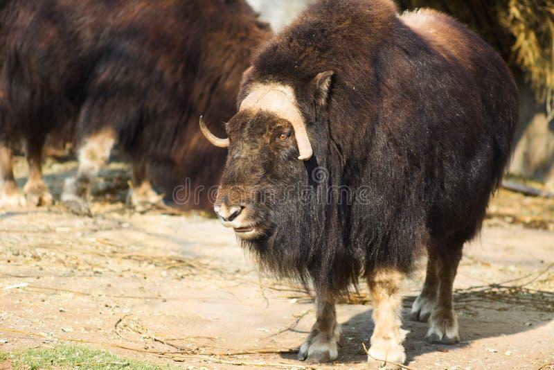 Wilde muskusos in de aard Het wild van grote dieren jakken royalty-vrije stock fotografie