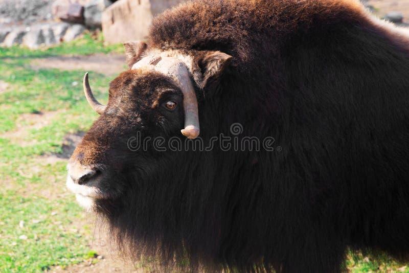Wilde muskusos in de aard Het wild van grote dieren jakken royalty-vrije stock foto