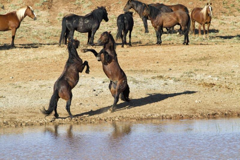 Wilde Mustang-Hengste, die nahe einer Wasserstelle kämpfen lizenzfreie stockfotos