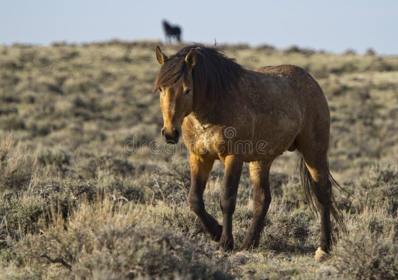 Wilde Mustanghengste stockfotos