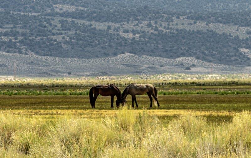 Wilde Mustangs auf BLM-Land nahe Kalifornien-Landstraße 120 stockfoto