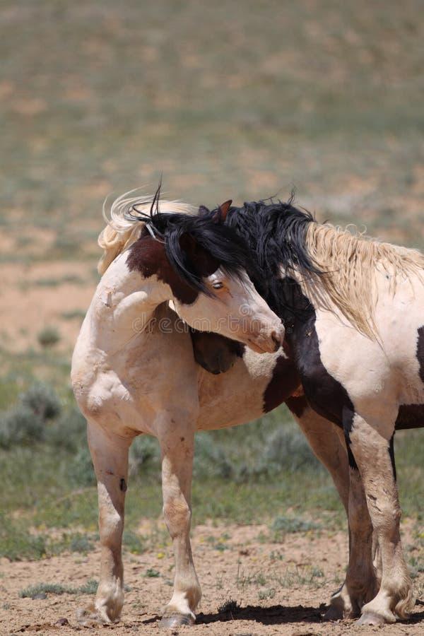 Wilde Mustangs der McCollough Spitze stockfoto