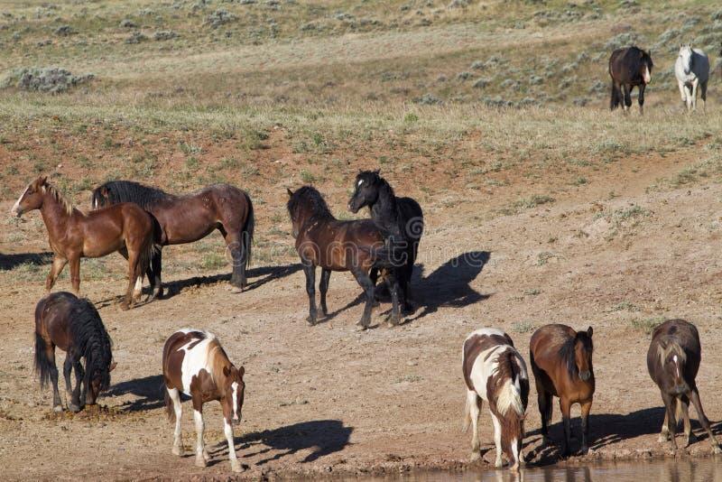 Wilde Mustangs an der Wasserstelle lizenzfreies stockfoto