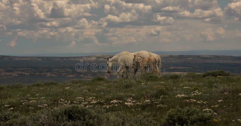 Wilde Mustangs Mutter und Baby-Ausblick-Berg, Sandwash-Becken, Colorado stockbilder