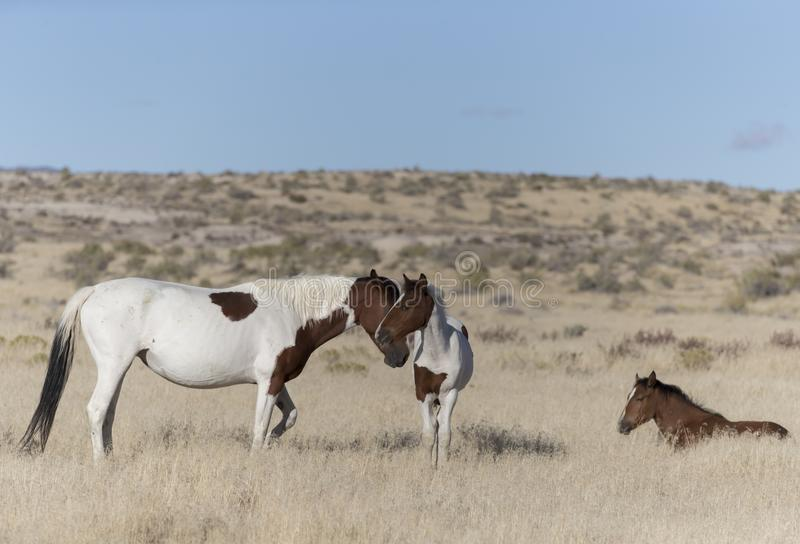 Wilde Mustangs Onaqui-Herde im Großen Wüsten-Becken, Utah USA stockbild