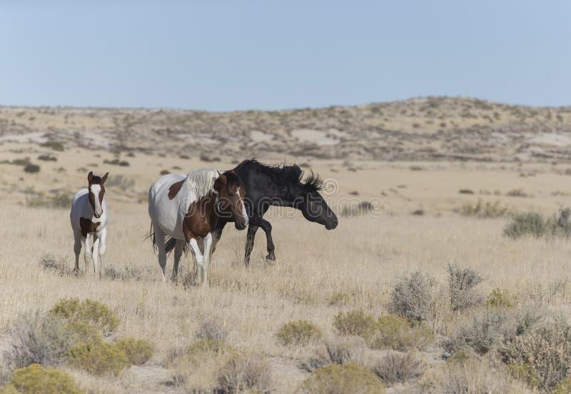 Wilde Mustangs Onaqui-Herde im Großen Wüsten-Becken, Utah USA stockbilder