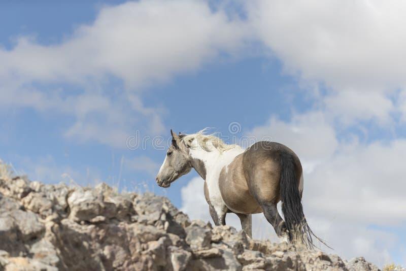 Wilde Mustangs Onaqui-Herde im Großen Wüsten-Becken, Utah USA lizenzfreies stockfoto