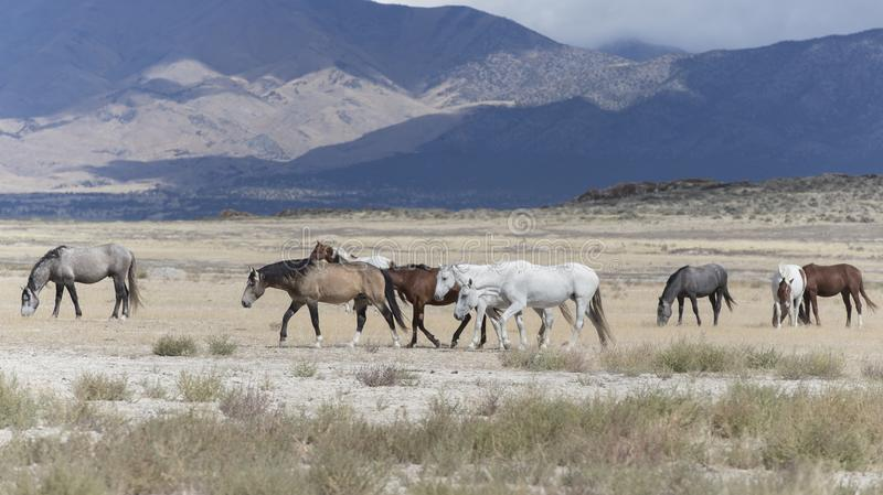 Wilde Mustangs Onaqui-Herde im Großen Wüsten-Becken, Utah USA lizenzfreie stockbilder