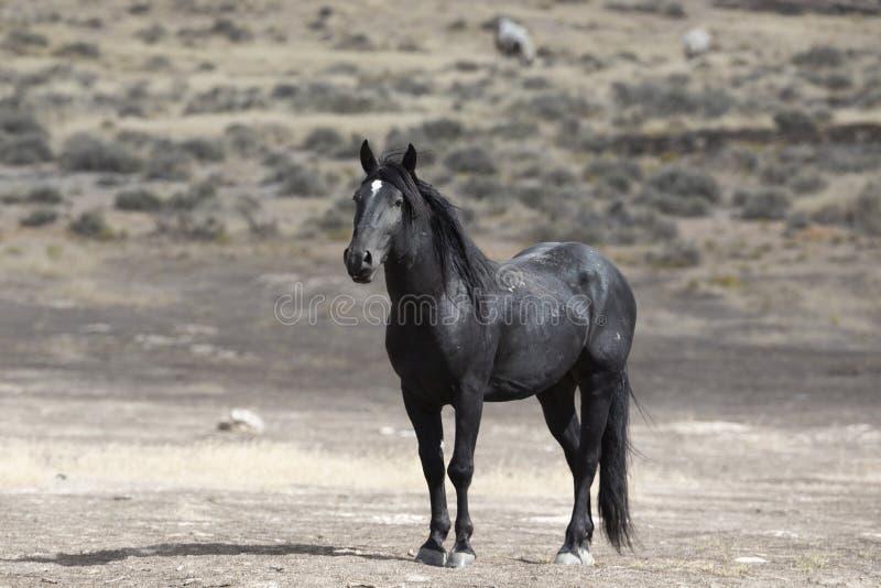 Wilde Mustangs Onaqui-Herde im Großen Wüsten-Becken, Utah USA lizenzfreie stockfotos