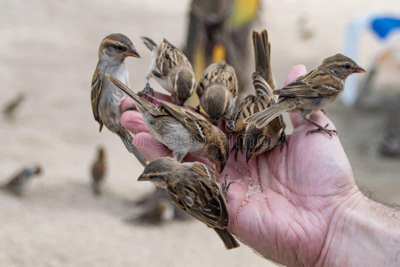 Wilde musvogels die van open hand voeden royalty-vrije stock fotografie