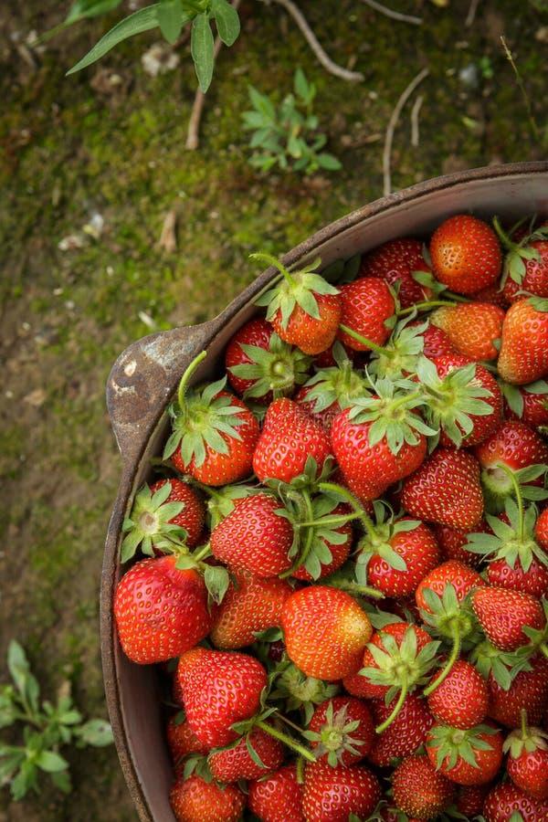Wilde Natuurlijke Rode Aardbeien, Aardbei in Rustieke Ijzerpot royalty-vrije stock foto