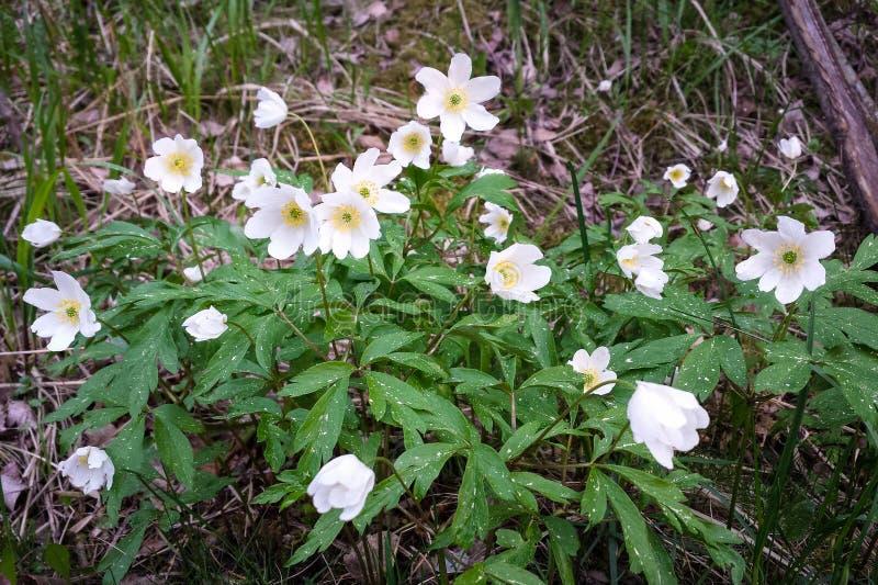 Wilde nemorosa van de bloemenanemoon stock afbeelding