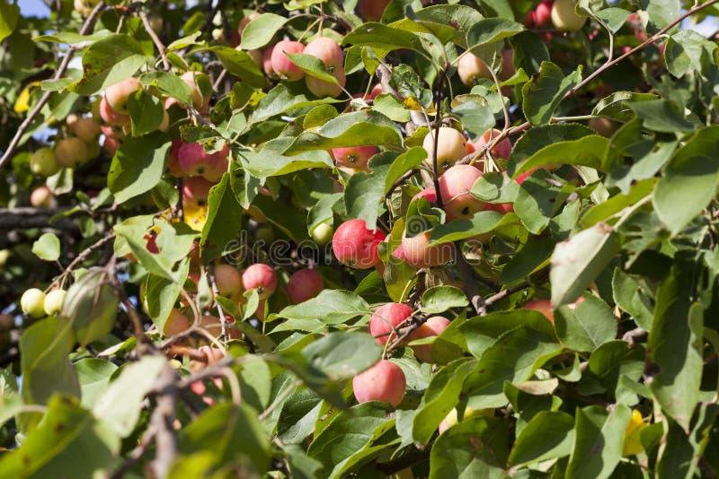 wilde nicht geschmackvolle Äpfel des kleinen Rotes stockbild