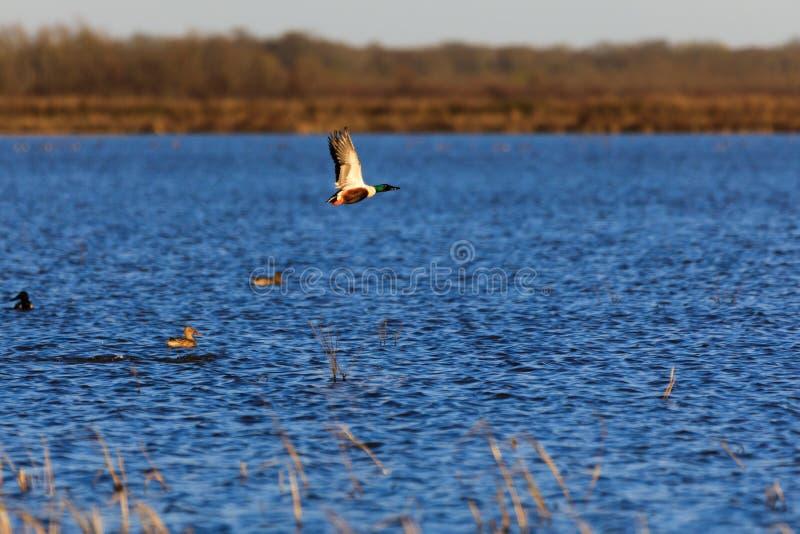 Wilde Nordlöffelente innerhalb des Managementbereichs der wild lebenden Tiere im kahlen Griff, Arkansas stockbild